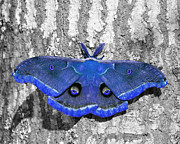 Selective Color Posters - Male Moth - Brilliant Blue Poster by Al Powell Photography USA
