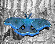 Al Powell Photography Usa Digital Art Prints - Male Moth Light Blue Print by Al Powell Photography USA