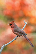 Male Northern Cardinal Framed Prints - Male Northern Cardinal - D007810 Framed Print by Daniel Dempster