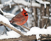 Birding Photos - Male Northern Cardinal 4003 2L by Michael Peychich