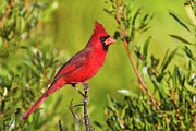 Coast Prints - Male Northern Cardinal Print by Andy Morffew