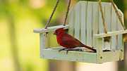 Northern Cardinal Posters - Male Northern Cardinal on Feeder Poster by Bill Tiepelman