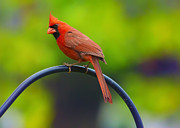 Bird-feeder Posters - Male Northern Cardinal on Pole 2 Poster by Bill Tiepelman