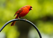 Red Cardinal Prints - Male Northern Cardinal on Pole Print by Bill Tiepelman