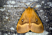 Deterrent Posters - Male Oak Eggar Moth Poster by Dr Keith Wheeler