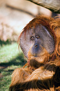 Orangutan Framed Prints - Male Orangutan Framed Print by Randall Ingalls