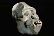 Orang-utan Photos - Male Orangutan Skull by Javier Truebamsf