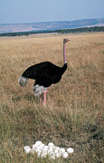 Male Ostrich With Eggs Print by Carl Purcell