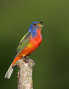 Ray Downs - Male Painted Bunting...