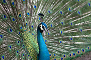 Bird Calling Prints - Male peacock displaying his plume feathers while calling for a m Print by Zoe Ferrie