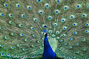 Peafowl Photos - Male Peacock on display by Paul Ward