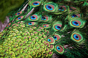 Extreme Close Up Prints - Male Peacock (pavo Cristatus) Displaying Tail Feathers Print by Altrendo Travel
