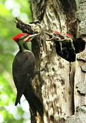 Pileated Woodpeckers Prints - Male Pileated Woodpecker at nest Print by Mircea Costina Photography