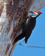 Pileated Woodpeckers Prints - Male Pileated Woodpecker Print by Gary Colvard