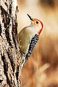 Goose Island Park Framed Prints - Male Red-Bellied Woodpecker 3 Framed Print by Larry Ricker