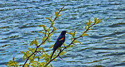 Red-winged Blackbird Framed Prints - Male Red-Winged Blackbird Framed Print by Bill Tiepelman