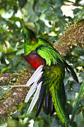 Tropical Bird Prints - Male Resplendent Quetzal Print by Heiko Koehrer-Wagner