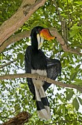 Rhinoceros Posters - Male Rhinoceros Hornbill In A Tree Poster by Tony Camacho