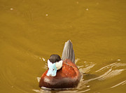 Crowned Head Posters - Male Ruddy Duck Poster by Daniel Hebard