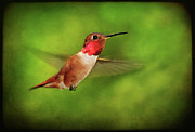 Textured Bird Posters - Male Rufous Hummingbird On Textured Background Poster by Barbara Rich