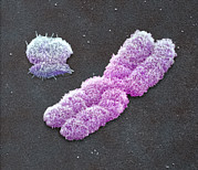 Duplication Prints - Male Sex Chromosomes, Sem Print by Power And Syred