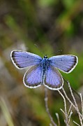 New Britain Framed Prints - Male Silver-studded Blue Butterfly Framed Print by Colin Varndell