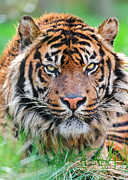 The Tiger Metal Prints - Male Sumatran Tiger Metal Print by Picture by Tambako the Jaguar