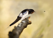 Deterrent Posters - Male Swallow Poster by Power And Syred