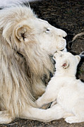 White Lion Posters - Male White Lion And Cub Poster by Tony Camacho