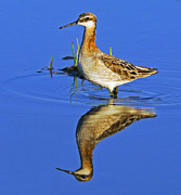 Migrant Posters - Male Wilsons Phalarope Poster by Tony Beck