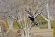 Waterfowl Metal Prints - Mallard Approach Metal Print by Mike  Dawson