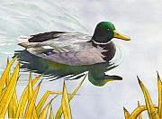 Drake Paintings - Mallard by Catherine G McElroy
