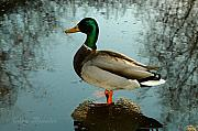Bruster Metal Prints - Mallard Metal Print by Clayton Bruster
