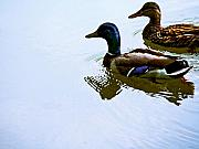 Duck Couple Posters - Mallard Couple Poster by Jim DeLillo