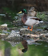 White River Scene Posters - Mallard Couple Poster by Mark McReynolds