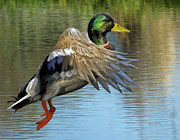 Mallards Paintings - Mallard Digital Freehand Painting 3 by Ernie Echols