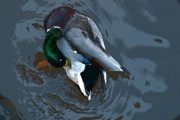 Green Ocean With White Water Prints - Mallard  Print by Don  Wright