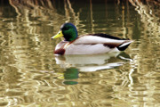 Golden Pond Prints - Mallard Drake Print by Sharon  Talson