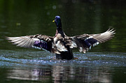 Backlit Prints - Mallard Drake Wingspan Print by Sharon  Talson
