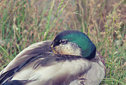 Vancouver Photos - Mallard Duck by Allen Donikowski