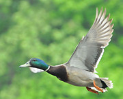 Woodsman Posters - Mallard Duck in Flight Poster by Paul Ward