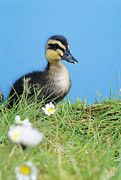 Anas Platyrhynchos Framed Prints - Mallard Duckling Framed Print by David Aubrey