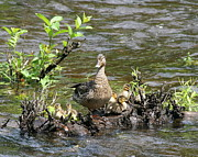 Baby Mallards Photos - Mallard Duckling Rest  by Neal  Eslinger