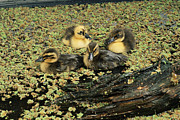 Anas Platyrhynchos Framed Prints - Mallard Ducklings Framed Print by David Aubrey