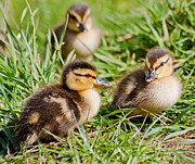 Mallard Ducklings Photos - Mallard Ducklings by Margaret S Sweeny