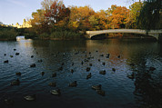 Autumn Views Prints - Mallard Ducks Gather At Dusk Print by Melissa Farlow