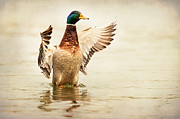 Duck Posters - Mallard Poster by Everet Regal