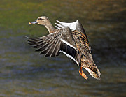 Rodney Campbell - Mallard Landing
