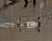 Birds - Mallard Mates DWF085 by Gerry Gantt