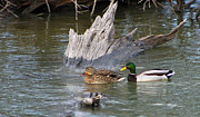 Cypress Stump Photos - Mallard Pair by Geary Barr